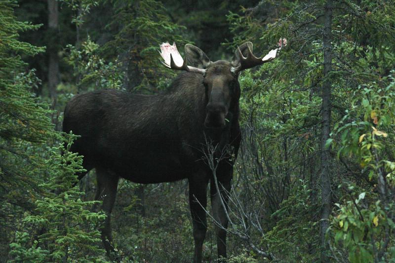 Alaska moose 16