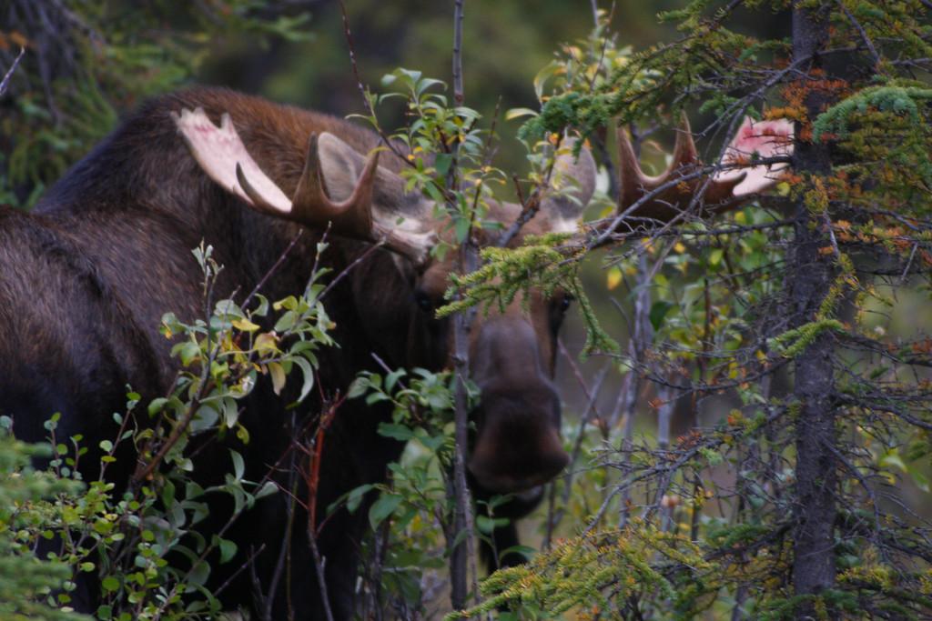 Alaska moose 18