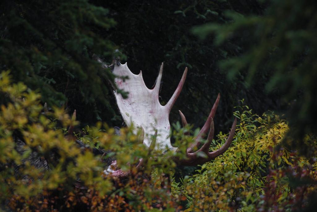Alaska moose 19