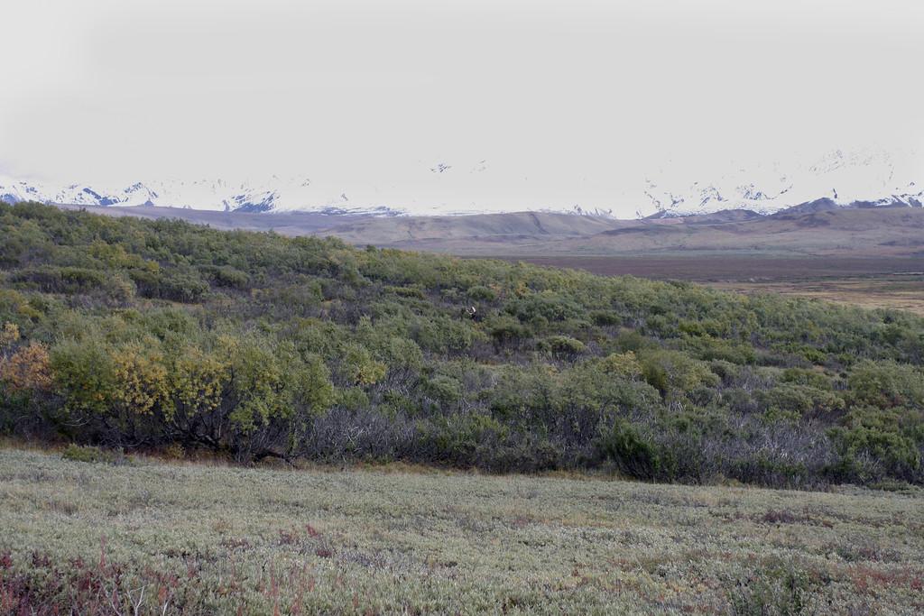 Alaska moose 7