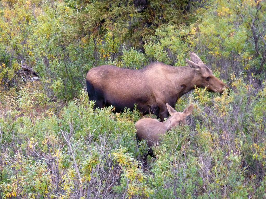 Alaska moose 5