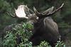 Alaska moose 13