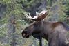 Alaska moose 11