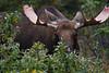 Alaska moose 15