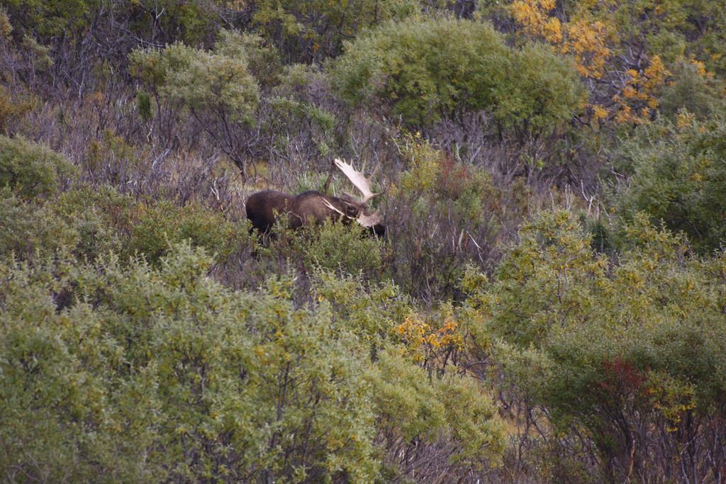 Alaska moose 8