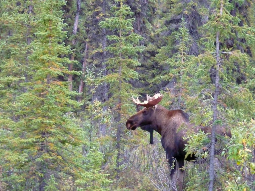 Alaska moose 14