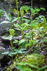 2 Jack-in-the-Pulpit plants