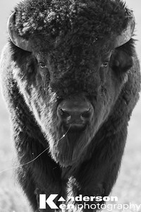 Bison Blk White