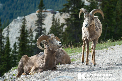 Big Horn Sheep 8