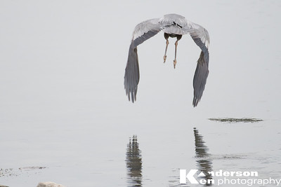 Blue Heron in the fog