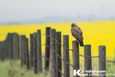Soggy Hawk