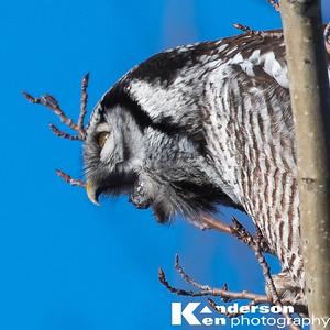 2 16 2017_Hawk_Owl-8871-2