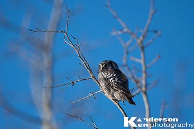 2 16 2017_Hawk_Owl-9106