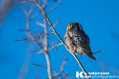 2 16 2017_Hawk_Owl-8975