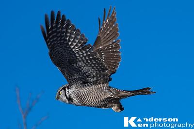 2 16 2017_Hawk_Owl--6