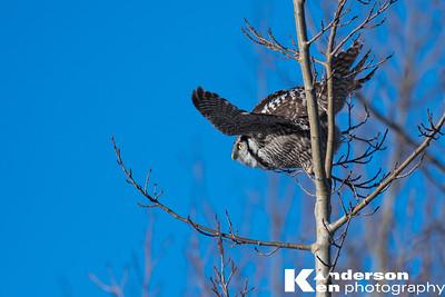 2 16 2017_Hawk_Owl-8906