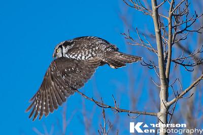 2 16 2017_Hawk_Owl--7