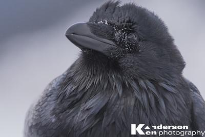 Raven Selfie