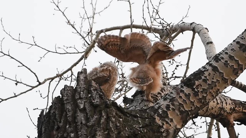 Recently fledged Great Horned Owlets 2017