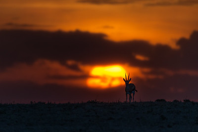 A Thompson gazelle at sunrise in the Masai Mara