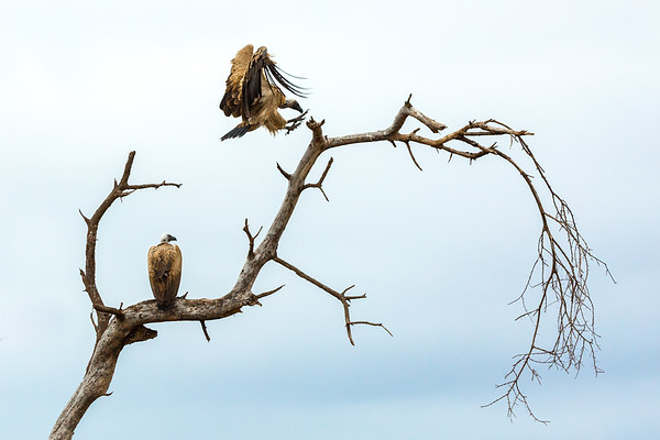 Two vultures, one sitting on a tree limb, the other in mid flight from one branch to another. , Kenya.