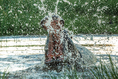 Angry hippo splashes as it stands in a watering hole in Okavango Delta, Botswana