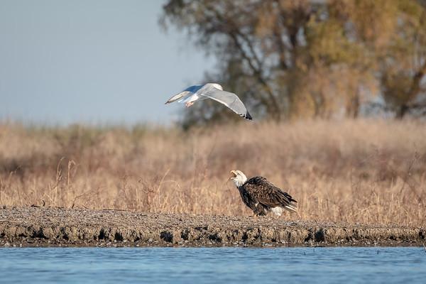 Bald Eagle - Defensive Posture