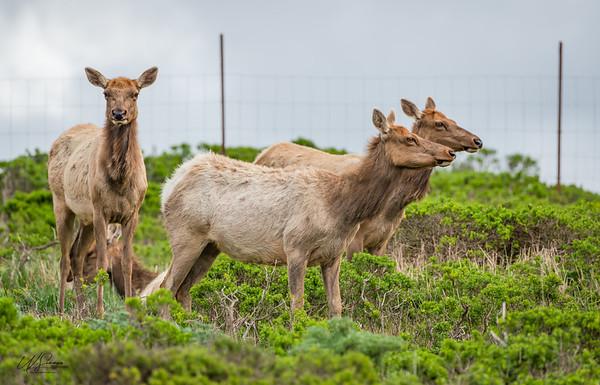 Juvenile Tule Elk