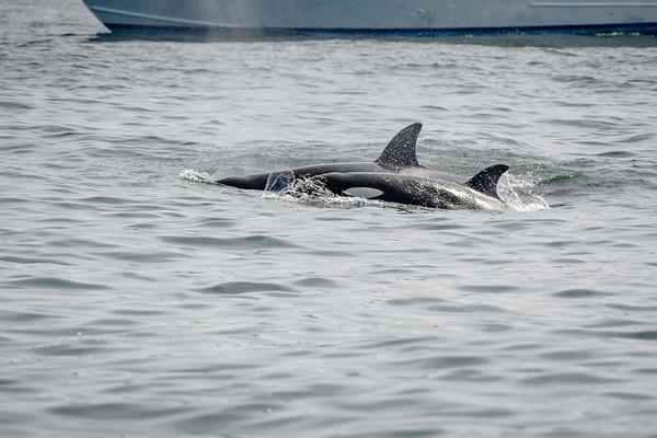 Orcas - Killer Whales