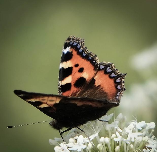 Walled Garden Butterflies