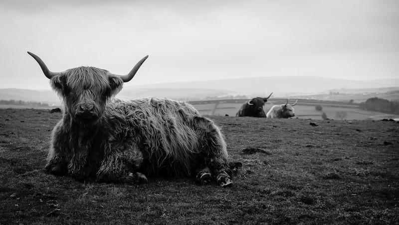 Yorkshire Highland Bull