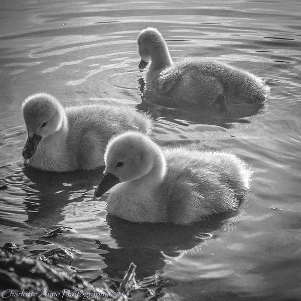 Three ugly ducklings...