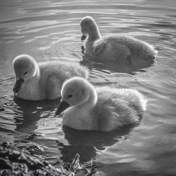 Three ugly ducklings...