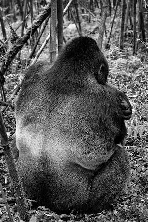 Silverback Pose from Behind #1