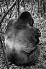Silverback Pose from Behind