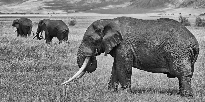 African Elephant Trio #2