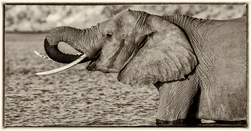Elephant in Sepia - Africa's Big 5 Series