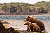 Brown Bear Mother with Cubs #1