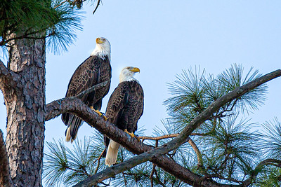 Bentwater Pair of Eagles