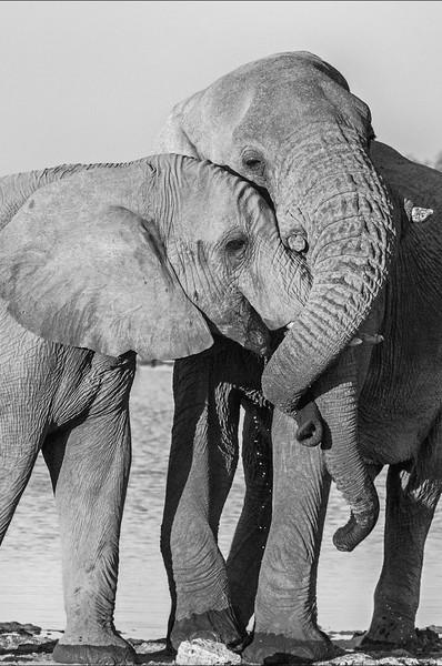 African Elephant Cuddle