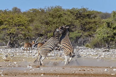Burchell's Zebra Fight #1