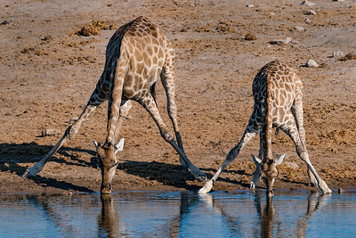 """Angolan Giraffe Adult & Young """"Time for a Drink"""""""