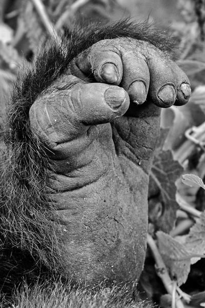 Mountain Gorilla Foot #1