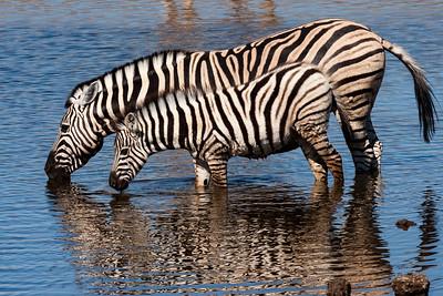Burchells Zebra Mother & Young
