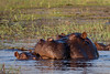 Hippopotamus Mother and Calf