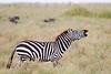 Burchell's Zebra Lip Curl #1