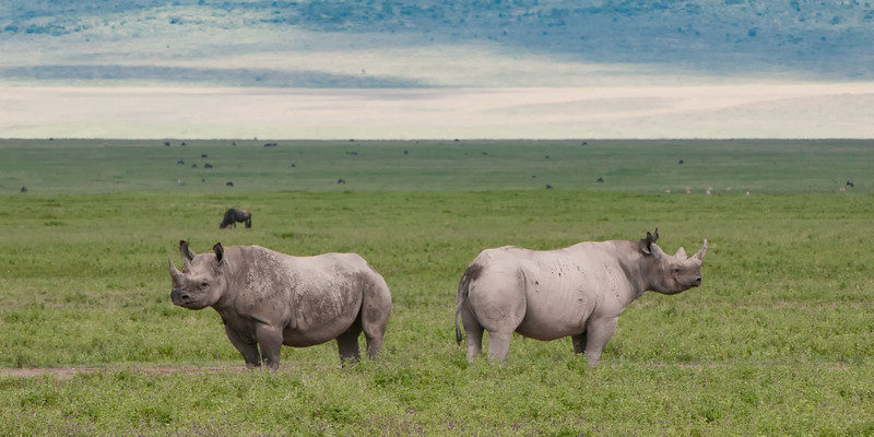 Black Rhinoceros Pair