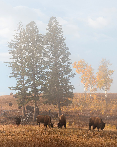 Grazing Bison Group #1