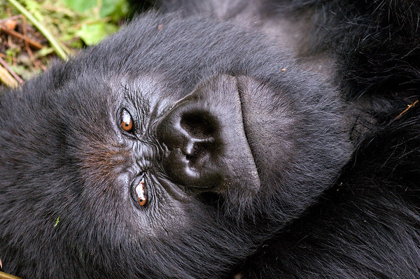 Mountain Gorilla Resting #1