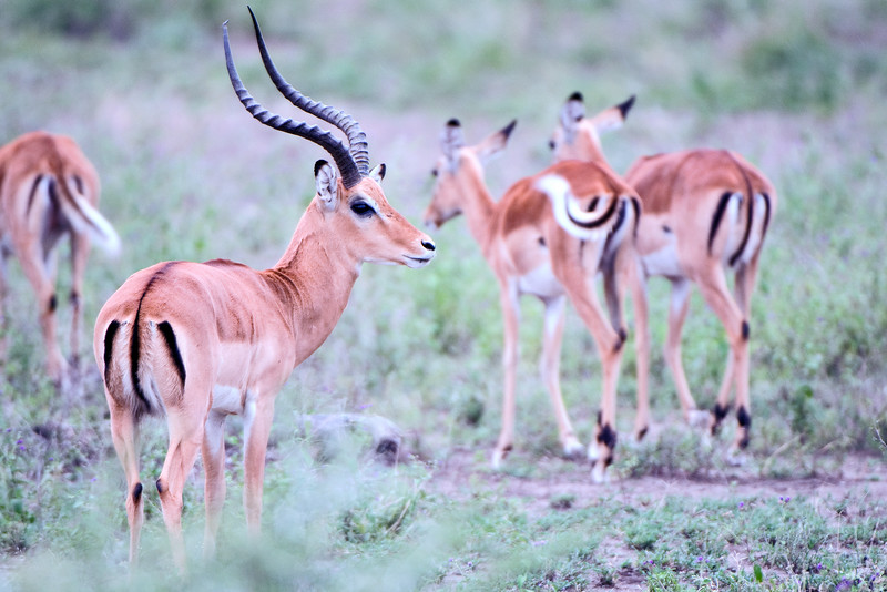 Impala Male and Females - #1